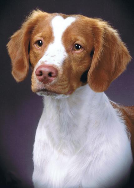 Brittany spaniel types - photo#17