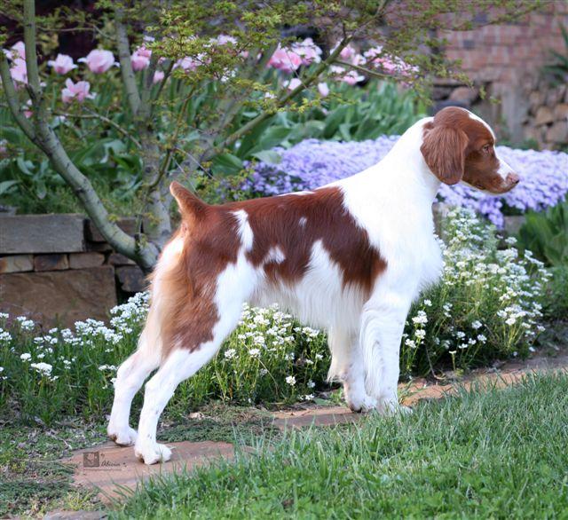 Brittany Dog On Dog Encyclopedia | Dog Breeds Picture